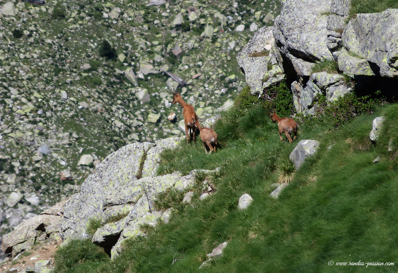 Isards sous la crête de la Sierra de Liena - Aragon