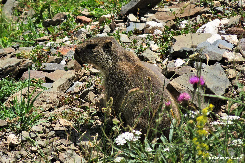 Marmotte à la Sierra de Liena - Aragon