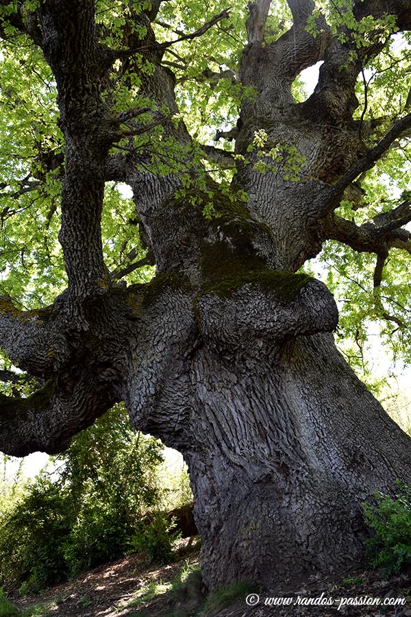 Chêne séculaire à Bagüeste - Sierra de Guara