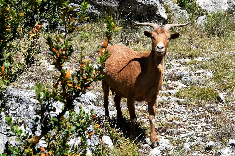 Chèvres sauvages sur les vires du Mascún