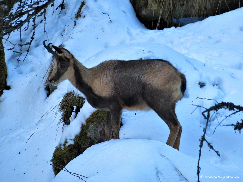 Isards dans le Parc National des Pyrénées